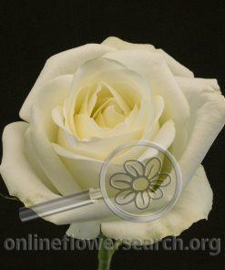 Rose Naccar