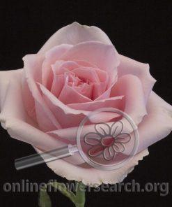 Rose Rebecca