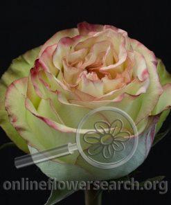 Rose Brocante+