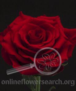 Rose Fidelity