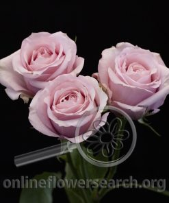 Spray Rose Pink Bubbles