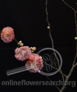 Quince Peach Double Flowering