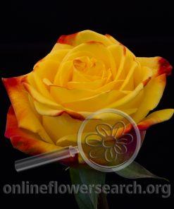 Rose Campari