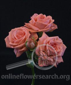 Spray Rose Barbados