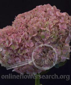 Hydrangea Magical Lavender Dream