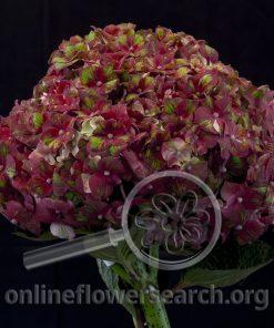 Hydrangea Magical Attraction
