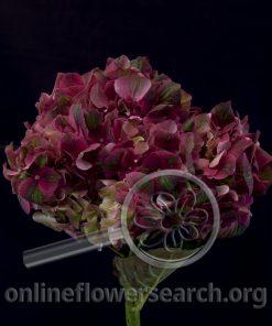 Hydrangea Magical Desire