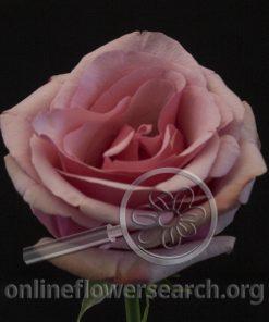 Rose Vintage Paloma