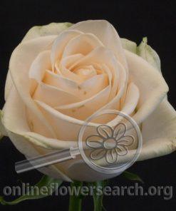Rose Gwendolyn
