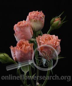 Spray Rose Bengala