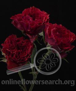 Spray Rose Bellalinda Brick