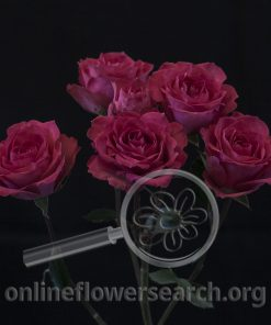 Spray Rose Bellalinda Cerise
