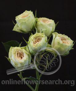 Spray Rose Bellalinda Cream