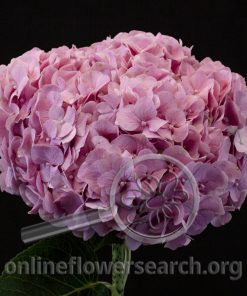 Hydrangea Magical Inspiration Antique