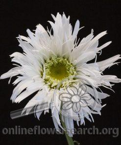 Shasta Daisy Spider 'Sante'