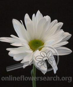 Chrysant White Meraki