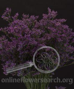 Limonium Piuma Purple