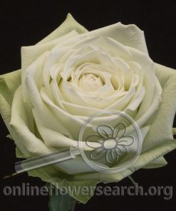 Rose Absinthe