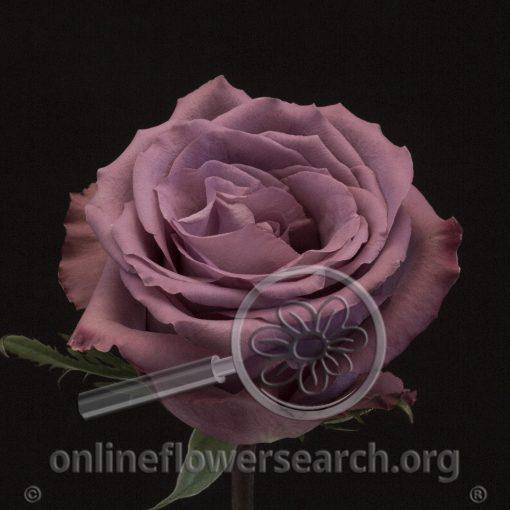 Rose Piacere