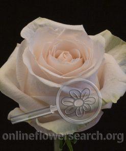 Rose PomaRosa