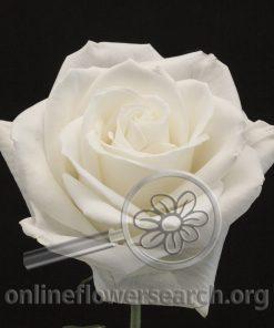 Rose Windsong