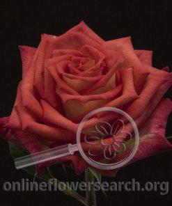 Rose Fragma