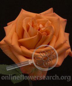 Rose Tangerine