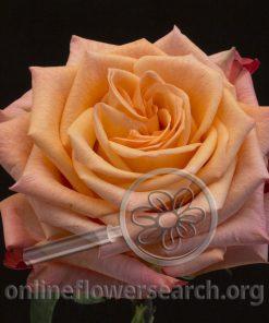 Rose Idillia