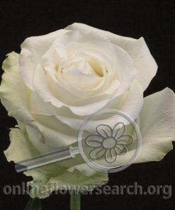 Rose Arctica