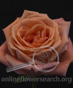 Rose Carmela