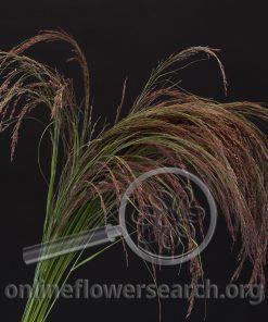 Grass Ruby Silk