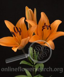 Lily LA Hybrid Orange