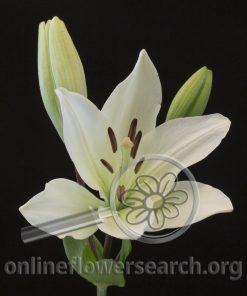 Lily LA Hybrid White