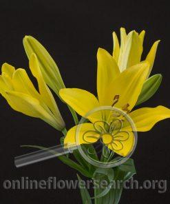 Lily LA Hybrid Yellow