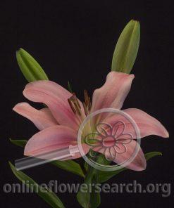 Lily LA Hybrid Pink