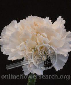 Carnation Brut