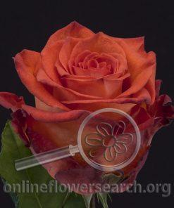 Rose Big Bang