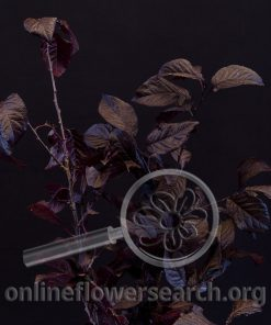 Purple Leaf Plum
