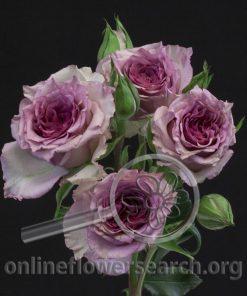 Spray Rose Diamond Rain
