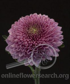 Chrysant Disbud Balls Lavender (BonBon)