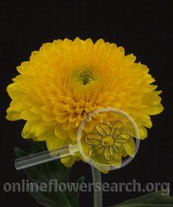 Chrysant Disbud Balls Yellow (Paladov Sunny)