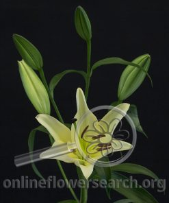 Lily OT Hybrid Corcovado