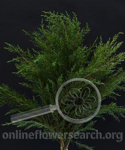 Cedar juniperus virginiana (Eastern Red Cedar)