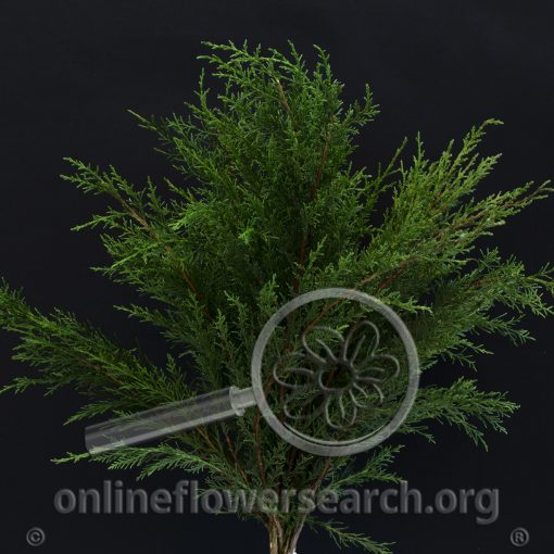 Cedar juniperus virginiana (Eastern Red Cedar)