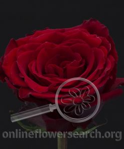 Rose Born Free