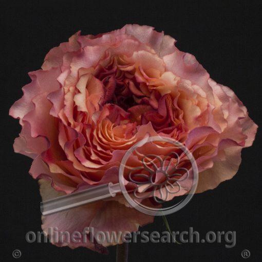 Rose Carnivora