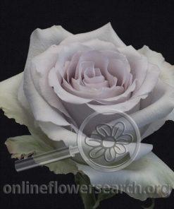 Rose Andrea