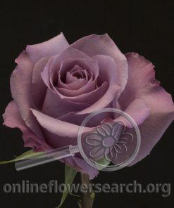 Rose Appplause