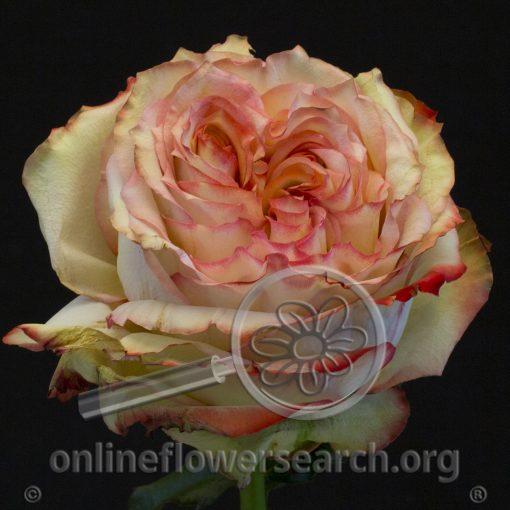 Rose Miraculous@