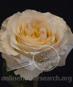 Rose Cream Fragrance@
